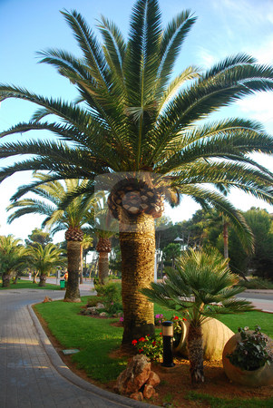 Mallorca stock photo, Palm trees on the island mallorca spain by Wolfgang Zintl
