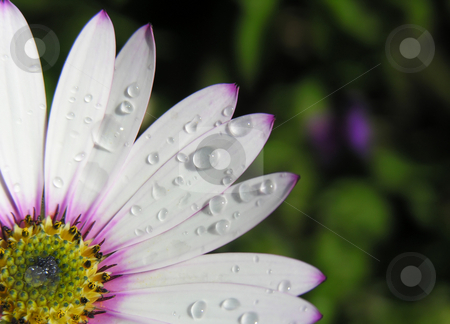 Daisy stock photo, Close up shot of a daisy with water drops by Kirsty Pargeter