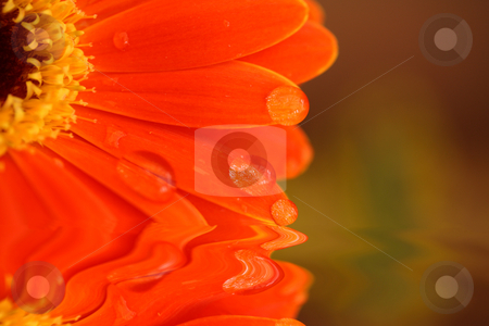 Reflected petals  stock photo, Abstract daisy petals soft focus for effect with water droplets reflected in a pool by Stephen Mcnally