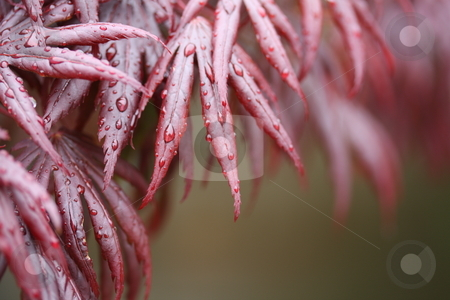 Japenese acer stock photo, Japenese acer  with raindrops reflected in a pool by Stephen Mcnally