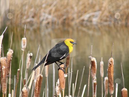 Blackbird stock photo, Yellow headed blackbird in the spring morning by Wolfgang Zintl