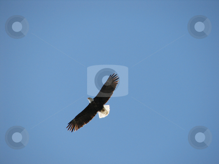 Bald eagle stock photo, Bald eagle is flying agains the blue sky by Wolfgang Zintl