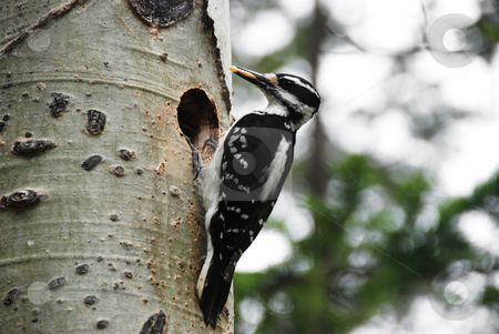 Woodpecker stock photo, Hairy woodpecker on a tree bringing food to the nest by Wolfgang Zintl