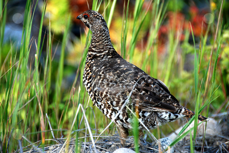 Srouce grouse stock photo, Close up shoot of a sprouce grouse hen by Wolfgang Zintl