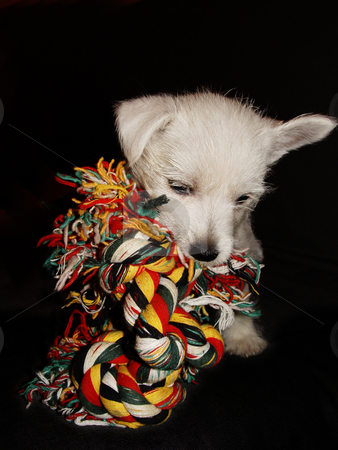 Cute puppy stock photo, Cute West Highland Terrier puppy by Kirsty Pargeter