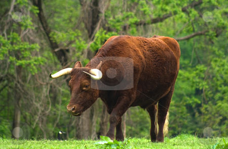 Long Horned Cattle stock photo, Long Horned Cattle by Thomas Marchessault