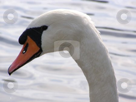Portrait of swan stock photo, Portrait of swan on a background water by Sergej Razvodovskij