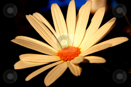 Daisy stock photo, A white big daisy isolated on dark background by Rui Vale de Sousa