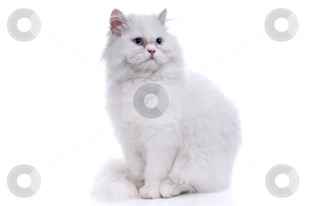 Cat stock photo, White cat with blue eyes. On a white background by Rui Vale de Sousa