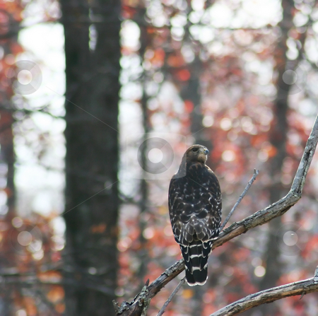Hawk stock photo, A hawk sits in a tree looking around by Matt Baker