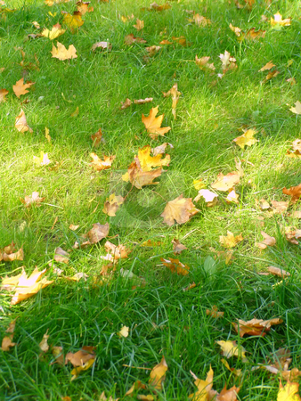 Autumn lawn stock photo, Fall maple leaves on the green grass by Sergej Razvodovskij