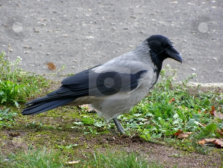 Raven stock photo, Raven looking for a food on the grass by Sergej Razvodovskij