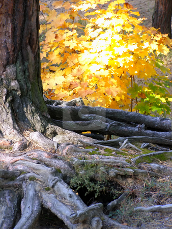 Roots stock photo, Roots of the pine-tree against the background of autumn forest by Sergej Razvodovskij