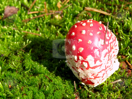 Fly agaric into moss stock photo, Fly agaric into moss  in the forest by Sergej Razvodovskij
