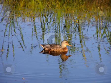 Duck at the lake stock photo, Duck at the lake by Sergej Razvodovskij