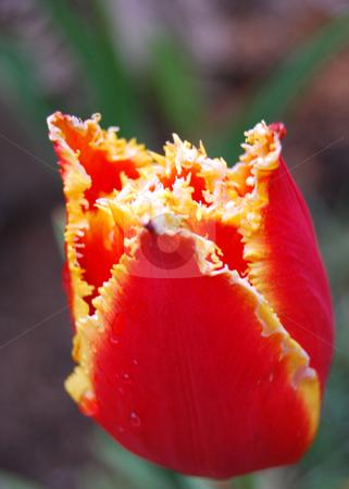 Tulip Aleppo  stock photo, Tulip Aleppo in natural light by Leyla Akhundova