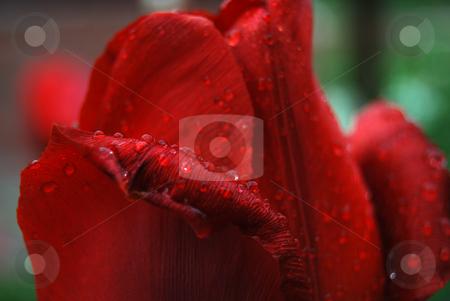 Tulip with rain drops stock photo, Red tulip with rain drops by Leyla Akhundova