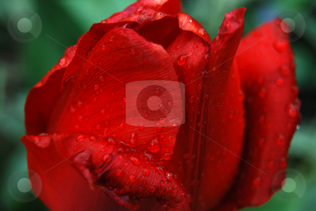 Tulip with rain drops stock photo, Red tulip with rain drops by Leyla Akhundova