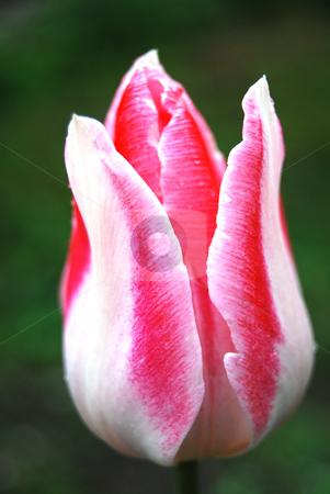 Tulip stock photo, Close-up Tulip Mata Hari by Leyla Akhundova