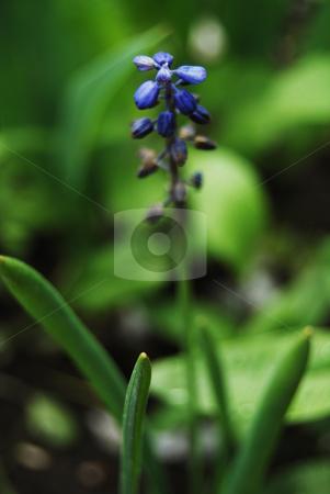 Blue flower stock photo, Blue flower in the garden by Leyla Akhundova