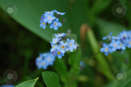 Blue flowers stock photo, Small blue flowers in the garden by Leyla Akhundova