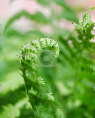 Baby fern stock photo, Close-up furl fern by Leyla Akhundova