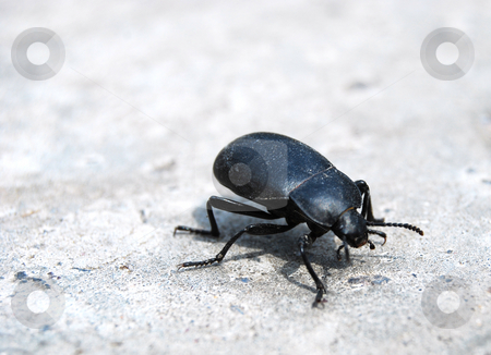 Bug, dor stock photo, Black bug by Leyla Akhundova
