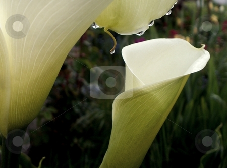 Calla Lilys stock photo, Beautiful calla lilys with water drops by Carol Grimes