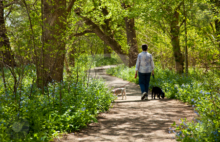 Lady with dogs on path in Bluebells stock photo, Middle aged lady with two small puppies on a walk through the bluebells by the side of the Potamac rive by Steven Heap