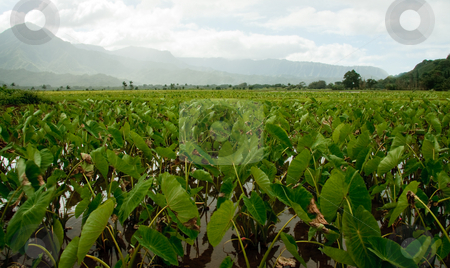 Taro plants in Hanalei valley stock photo, Close-up of Taro leaves in the Hanalei valley in Kauai by Steven Heap
