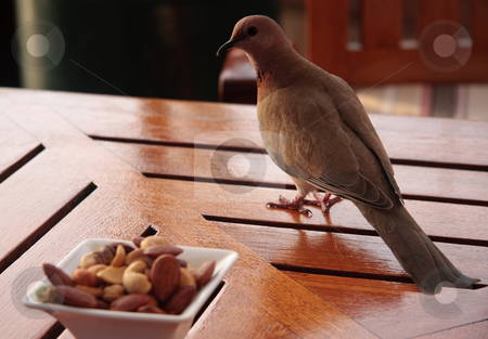 Bird considering its chances of food stock photo, Close up of dove like bird looking at possible snack on a glossy table in a bar by Steven Heap
