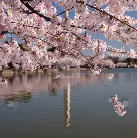 Unusual reflection of Washington Monument stock photo, Cherry blossoms dominate the scene allowing only the reflection of the Washington Monument to be seen by Steven Heap