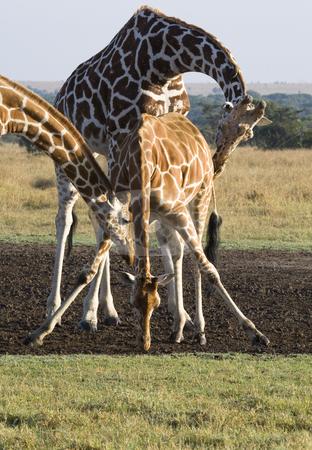 Three Giraffes stock photo, Three Giraffes, Giraffa camelopardalis reticulata, Sweetwaters Game Reserve, Republic of Kenya, Eastern Africa by mdphot