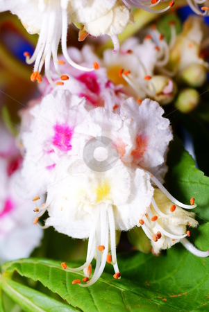Chestnut flower stock photo, Chesnut flower in the spring macro made by Jolanta Dabrowska