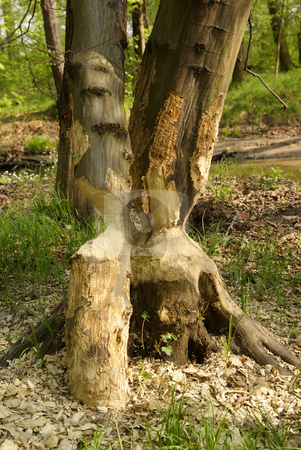 Trees stock photo, Two trees in park damaged by beaver by Jolanta Dabrowska