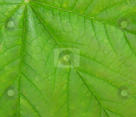 Green leaf close up stock photo,  by Kirsty Pargeter
