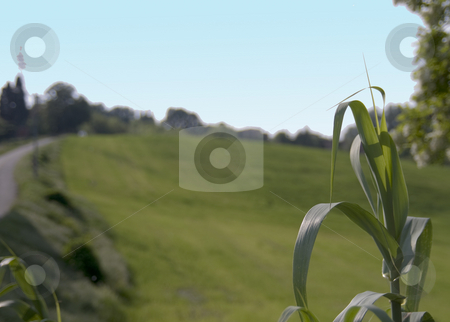 Reed stock photo, Close up of reed with blurred field of grass in the background by Fabio Alcini
