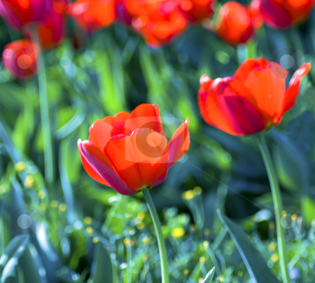 Tulips stock photo, Red tulips on a green field by Fabio Alcini