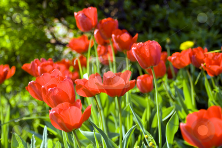 Tulips stock photo, Field full of red tulips on blurry background by Fabio Alcini