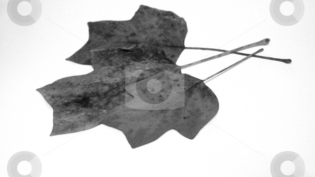 Autumn leaves stock photo, Three dead leaves on white background, black and white by Fabio Alcini