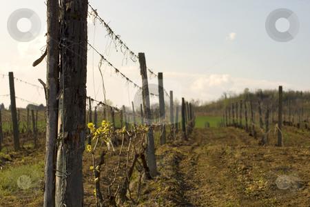 Vine stock photo, Closeup of a pole in a vine by Fabio Alcini