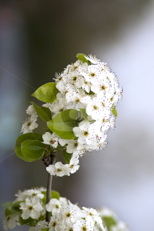 White flower stock photo, Close up of white flower by Fabio Alcini
