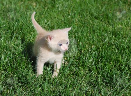 Yellow kitten stock photo, Yellow kitten with blue eyes walking through grass. by Ivan Paunovic