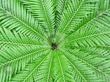 Fern Starburst stock photo, Tropical fern photographed from above plant by Jack Schiffer