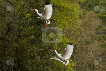 White Ibis Landing stock photo, White Ibises landing in a tree by Thomas Marchessault