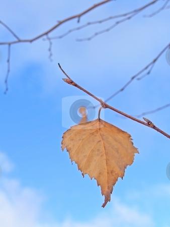 Last leaf stock photo, Last yellow birchen leaf against blue sky by Sergej Razvodovskij