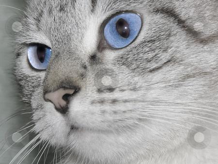 Cat eyes stock photo, Snout of  a cat  with blue eyes by Sergej Razvodovskij
