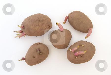 Five organic seed potatoes stock photo, Five organic seed potatoes sprouting ready for planting. by Ian Langley