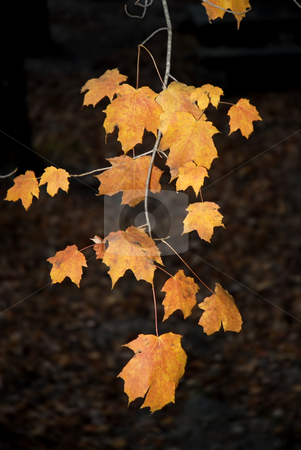 Leaves stock photo, Autumn branche with some orange leaves at night by Rui Vale de Sousa