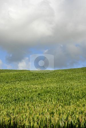 Field stock photo, Field of green corn in azores island by Rui Vale de Sousa